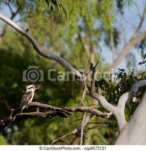 Kookaburra, Australia - csp6073121