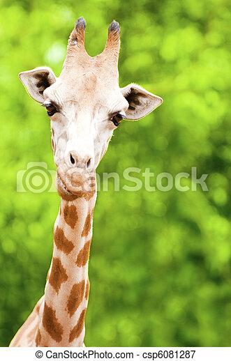 Giraffe Feeding - csp6081287