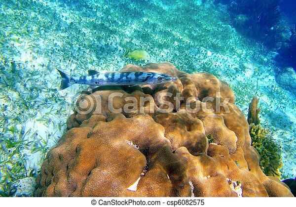 barracuda, pez, encima, coral, carrete, Maya, Riviera - csp6082575