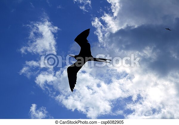 frigate bird silhouette backlight breeding season - csp6082905