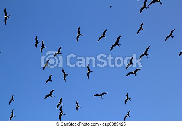 frigate bird silhouette backlight breeding season - csp6083425