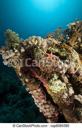 Starfish and coral in the Red Sea. - csp6084380