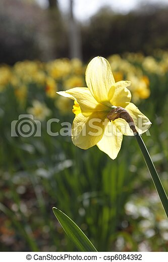 Lent lily - csp6084392