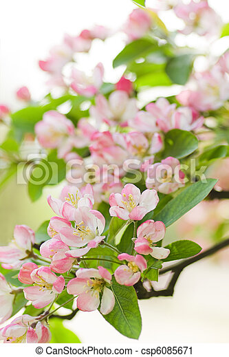 Stock photo pink and white crab apple tree blossom in spring stock