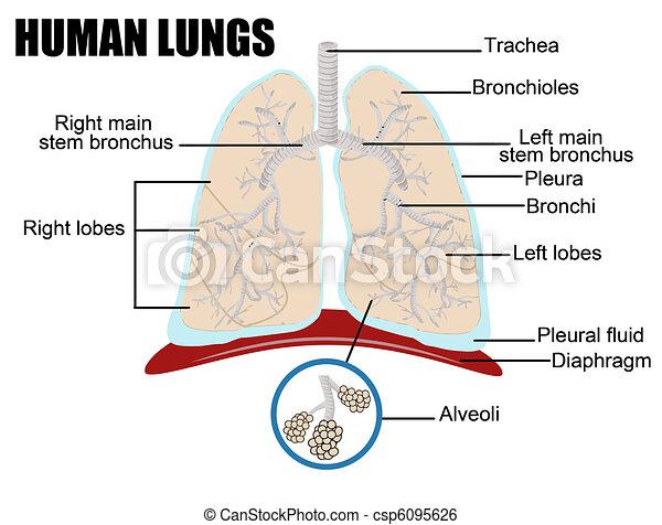 human lungs - csp6095626