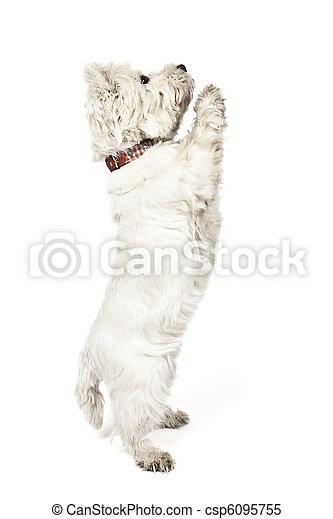 white Terrier - csp6095755