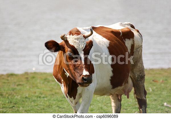 Cow perplexed look - csp6096089