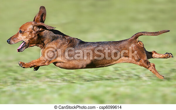Small brown dachshund runnning at full pace on green grass - csp6099614