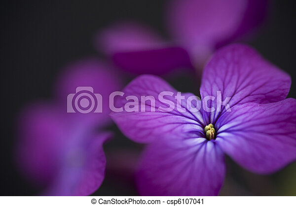 Stunning low key moody image of Silver Dollar flower on black background - csp6107041