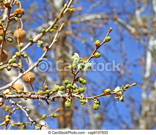 Arizona Sycamore budding spring 1  - csp6107633