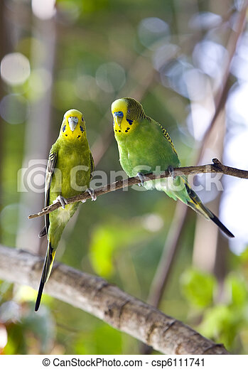 Budgerigars  on branch - csp6111741