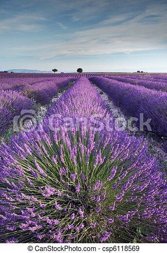 Lavender field in Provence during early hours of the morning - csp6118569