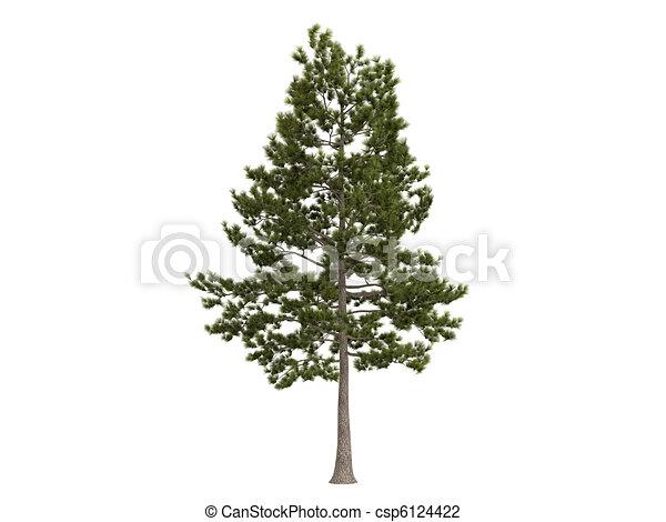 Loblolly pine or Pinus taeda - csp6124422