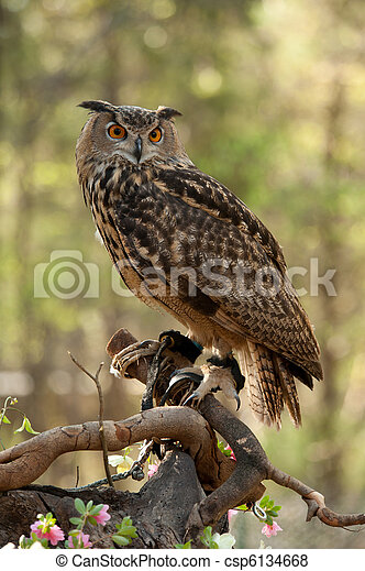 Great Horned Owl (Bubo virginianus) - csp6134668