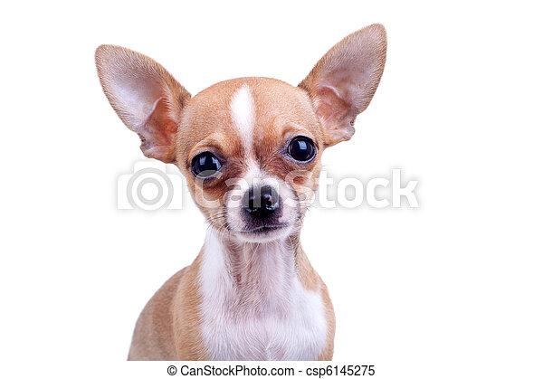 expressive portrait Chihuahua puppy - csp6145275