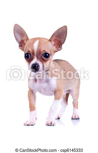 very scared chiwawa puppy - csp6145333