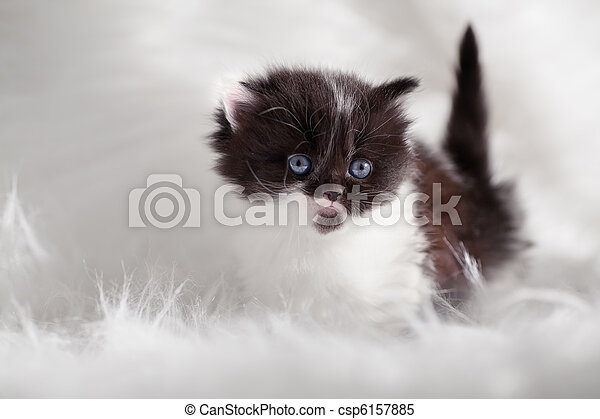 persian kitty - csp6157885