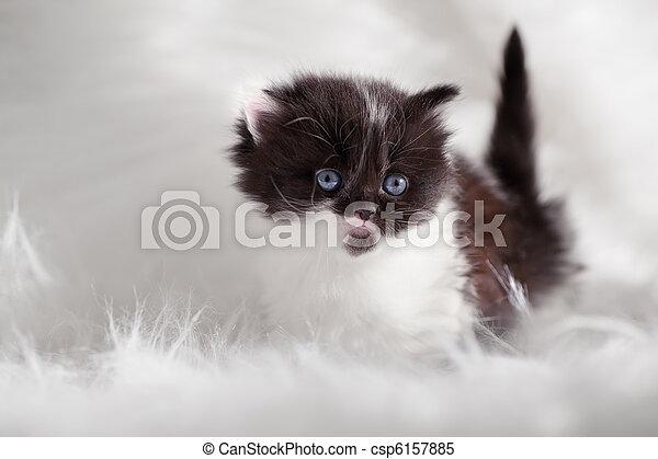 persian kitty - csp6157885