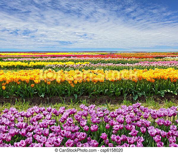 Horizontal Tulip Field