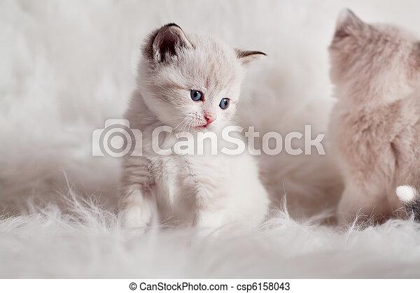 persian kitty - csp6158043