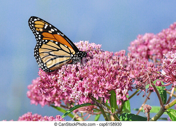 Monarch Butterfly (Danaus plexippus) on Swamp Milkweed Wildflower - csp6158930