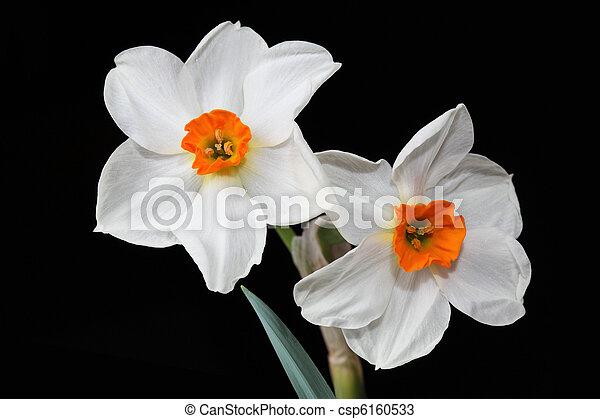 White Daffodil - csp6160533
