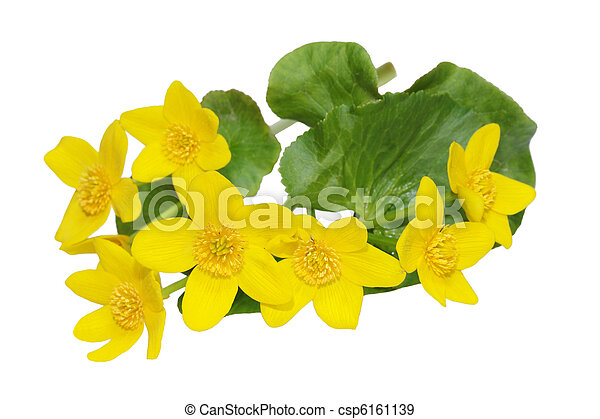 Marsh Marigold Wildflower - csp6161139