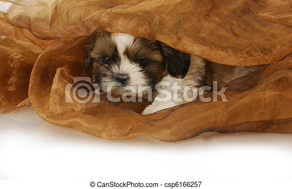 puppy hiding - csp6166257