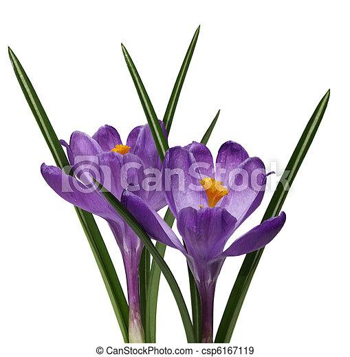Two purple crocus flowers - csp6167119