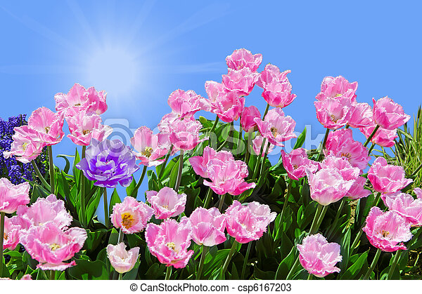 Pink Fringed Tulips - csp6167203