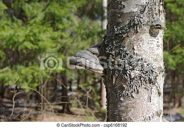 Bracket-fungus on a stem of birch in the forest - csp6168192