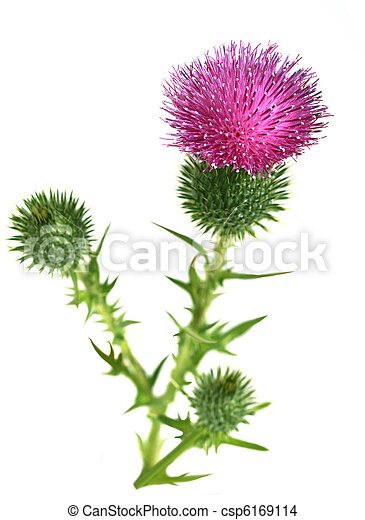 Bull Scotch Thistle Flower - csp6169114