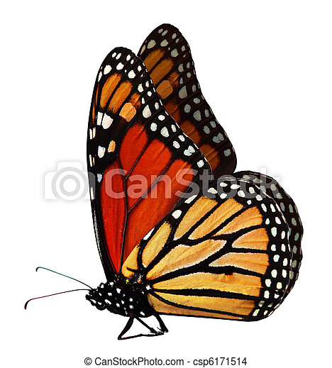 Monarch Butterfly - csp6171514