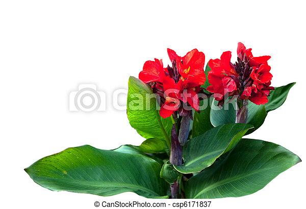 bilder von canna pflanze rotes canna blume pflanze freigestellt csp6171837 suchen. Black Bedroom Furniture Sets. Home Design Ideas
