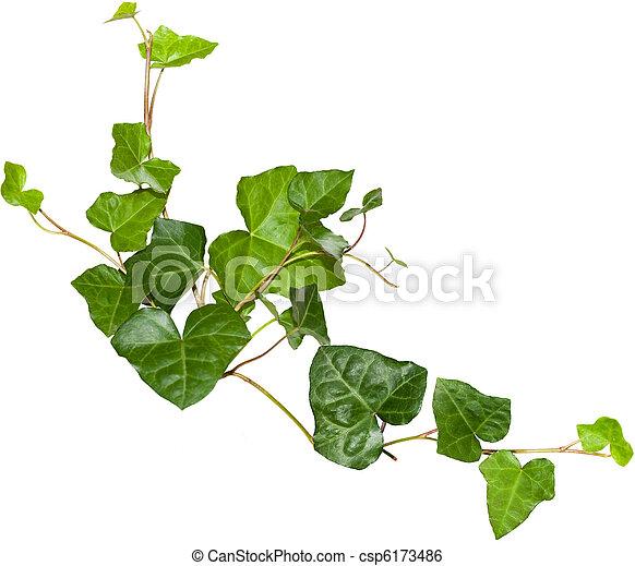 Archivi immagini di edera sempreverde edera ramoscelli for Edera sempreverde