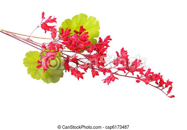 Heuchera Coral Bell- csp6173487