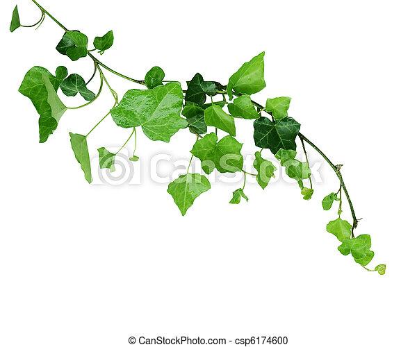 Ivy vine - csp6174600