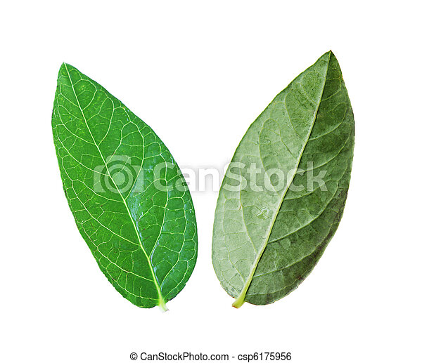 feuilles, Myrtille - csp6175956