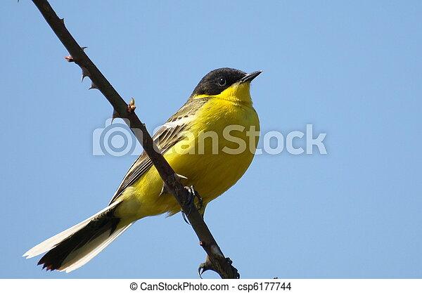 Yellow Wagtail, Motacilla flava - csp6177744