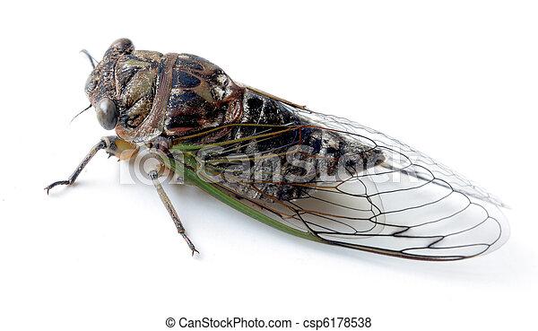 Swamp cicada - csp6178538