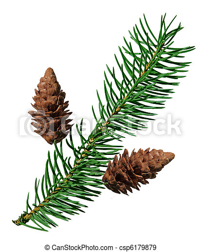 Fir and pine cone - csp6179879