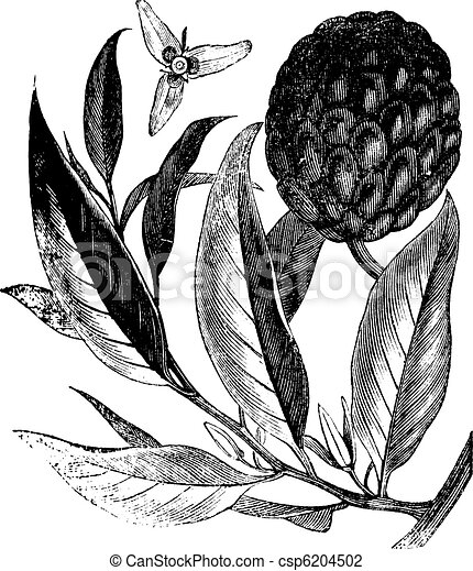 Annona reticulata or custard-apple vintage engraving - csp6204502