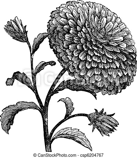 Double China Aster or Callistephus chinensis vintage engraving - csp6204767