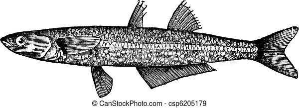 Atherina notata, Dotted Silverside or Big-scale sand smelt fish. Vintage engraving. - csp6205179