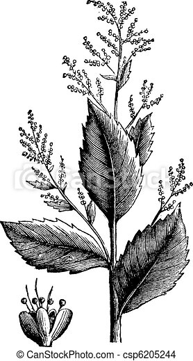Chenopodium anthelminticum or Wormseed Goosefoot vermifuge plant and flower vintage engraving. - csp6205244