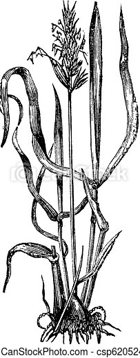 Anthoxanthum odoratum, or sweet vernal grass vintage engraving. - csp6205246