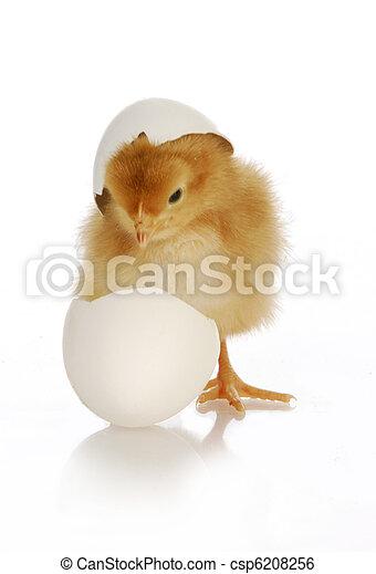 chick hatching - csp6208256