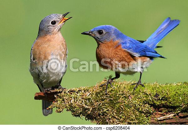Pair of Eastern Bluebird - csp6208404