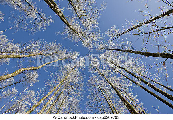 Pine forest at winter - csp6209793