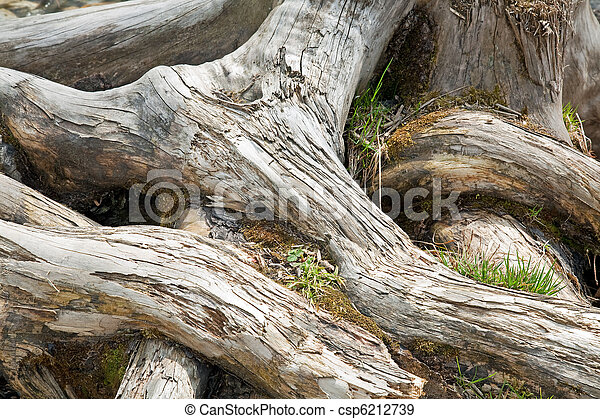 root of the old tree - csp6212739
